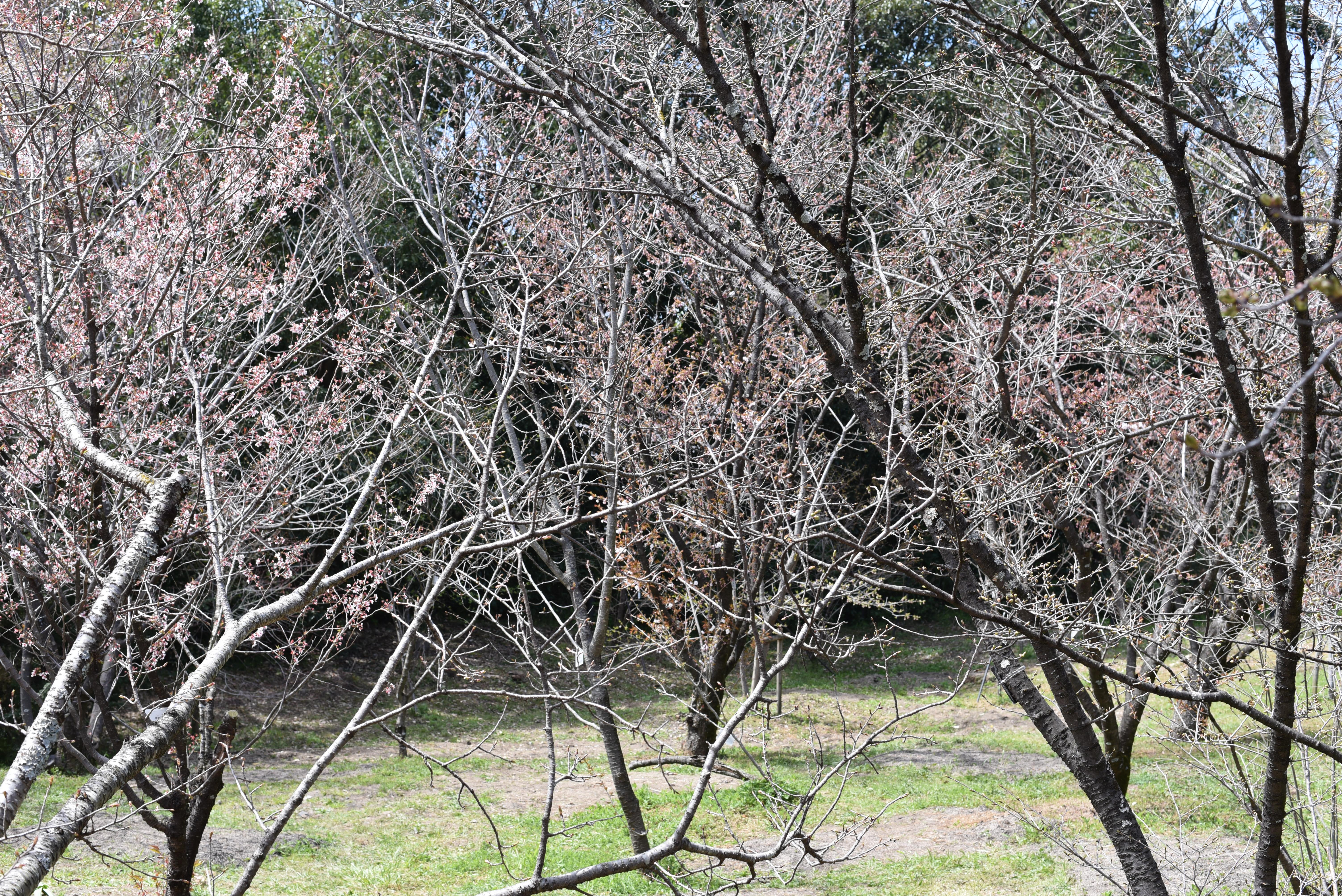 京都府立植物園 桜品種見本園