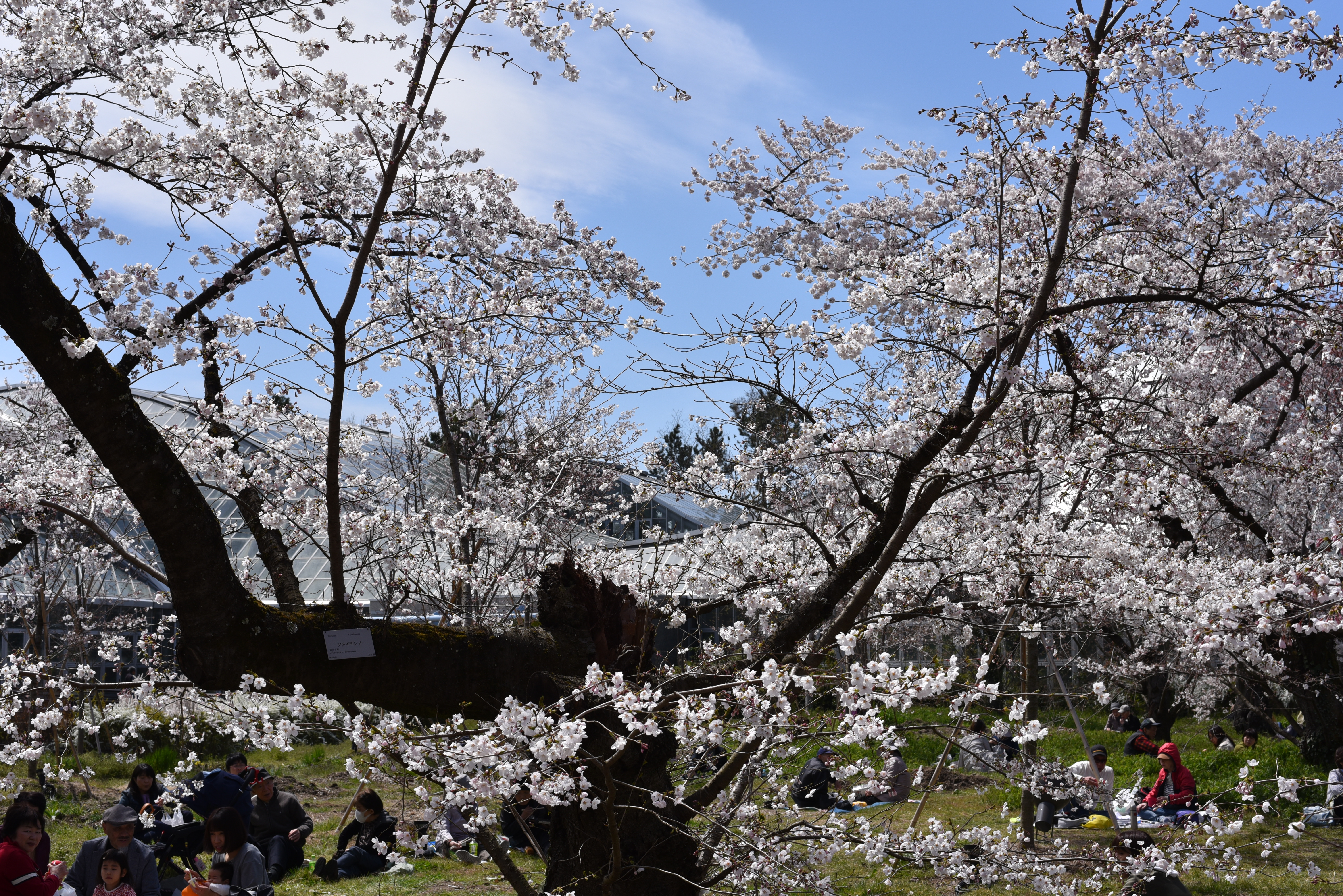 京都府立植物園 花見 ソメイヨシノ