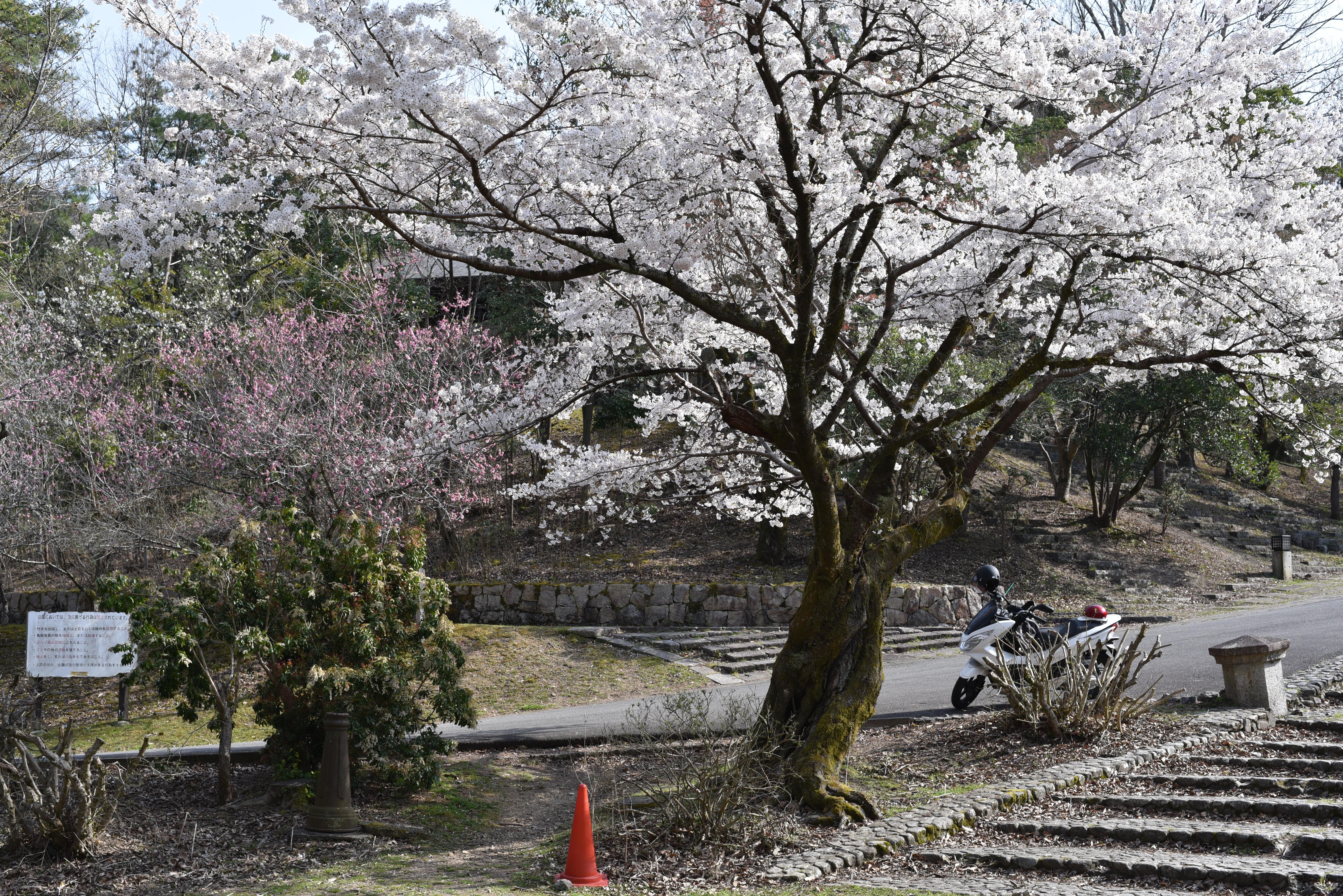 宝ヶ池公園 桜